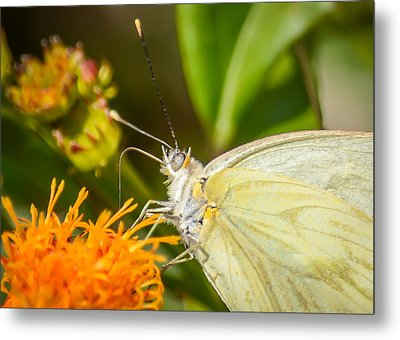Metal Print featuring the photograph Butterfly Attracted To Mexican Flame by Debra Martz