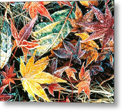 Close Up Fallen Maple Leaves Metal Print by Panoramic Images