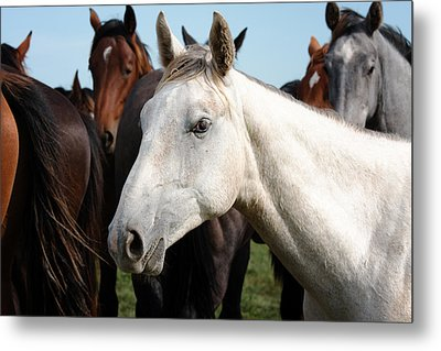 Close-up Herd Of Horses. Metal Print