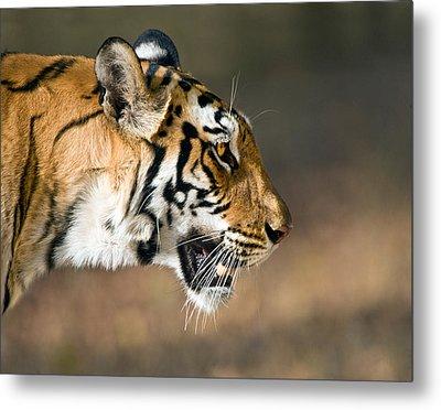 Close-up Of A Bengal Tiger Panthera Metal Print