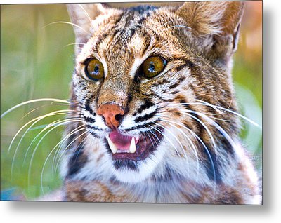 Close-up Of A Bobcat Lynx Rufus Metal Print by Panoramic Images