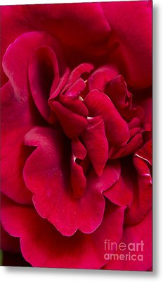 Close Up Of A Bright Red Rose Metal Print by Perry Van Munster
