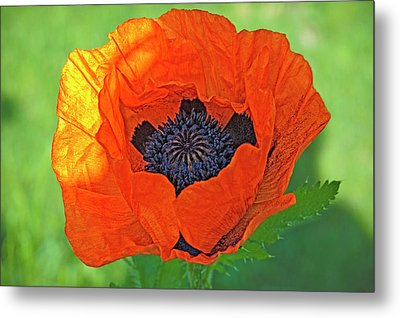 Close-up Of A Flowering Orange Poppy Metal Print by Rona Schwarz