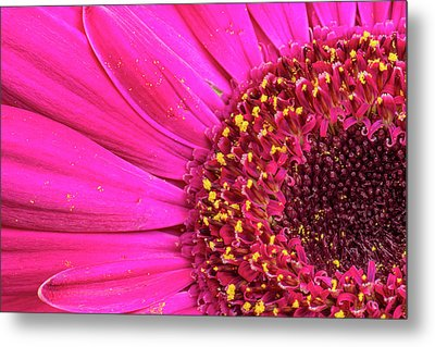 Close-up Of A Gerber Daisy Showing Metal Print