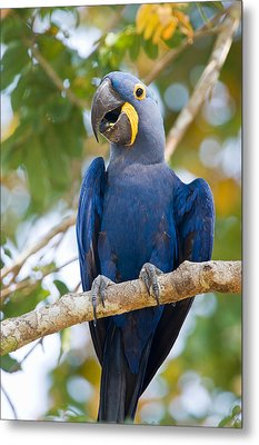Close-up Of A Hyacinth Macaw Metal Print by Panoramic Images