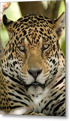 Close-up Of A Jaguar Panthera Onca Metal Print by Panoramic Images
