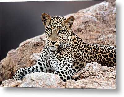 Close-up Of A Leopard Lying On A Rock Metal Print