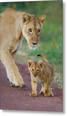 Close-up Of A Lioness And Her Cub Metal Print