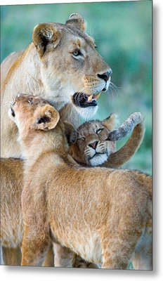 Close-up Of A Lioness And Her Two Cubs Metal Print