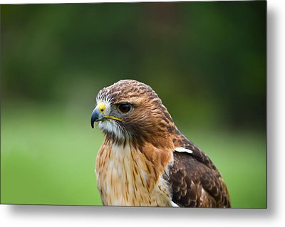 Close-up Of A Red-tailed Hawk Buteo Metal Print by Panoramic Images