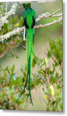 Close-up Of A Resplendent Quetzal Metal Print