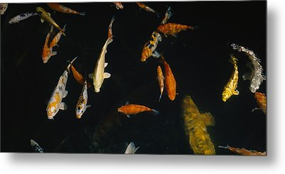 Close-up Of A School Of Fish In An Metal Print by Panoramic Images