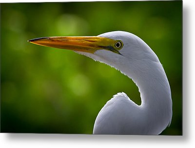 Close Up Of A Snowy Egret Metal Print by Andres Leon
