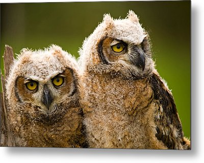 Close-up Of A Two Great Horned Owlets Metal Print