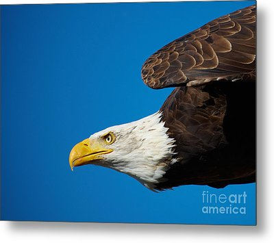 Metal Print featuring the photograph Close-up Of An American Bald Eagle In Flight by Nick  Biemans