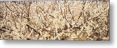 Close Up Of Flowering Cherry Tree Metal Print by Panoramic Images