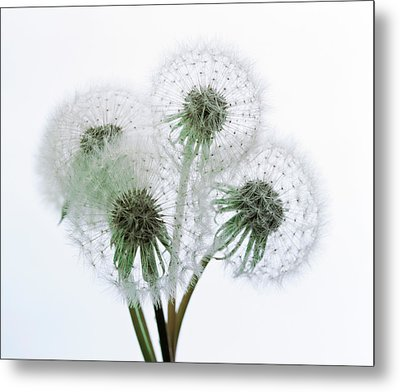 Close Up Of Four Dandelion Heads Metal Print by Panoramic Images