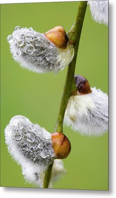 Close-up Of Rain Drops On Pussy Willows Metal Print