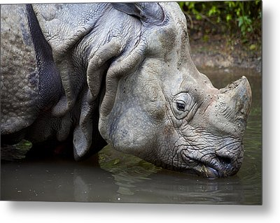 Close Up Of Rhino Drinking Rhinoceros Unicornis Metal Print by Gino De Graaf