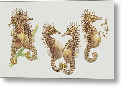 Close-up Of Sea Horses Metal Print by English School