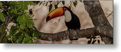 Close-up Of Tocu Toucan Ramphastos Toco Metal Print by Panoramic Images
