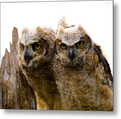 Close-up Of Two Great Horned Owlets Metal Print