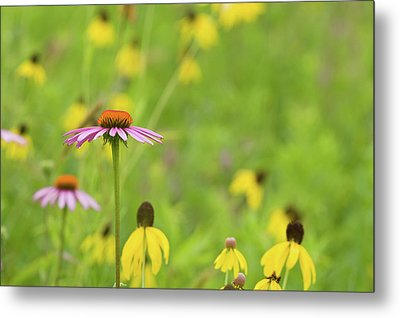 Close-up Of Various Coneflowers Metal Print by Panoramic Images