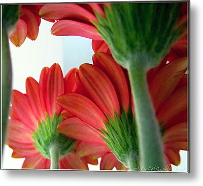 Close View From Under The Red Daisies Metal Print by Danielle  Parent