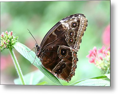 Closed Blue Morpho Metal Print