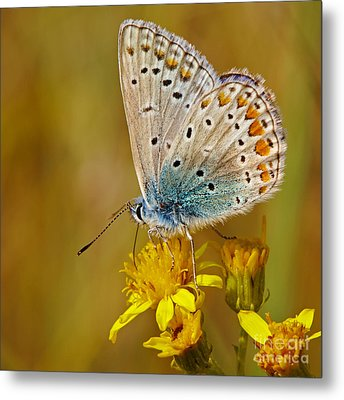 Closeup Of A Common Blue Butterfly Metal Print