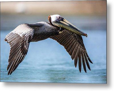 Closeup Of A Flying Brown Pelican Metal Print by Andres Leon