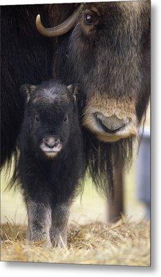 Closeup Of Muskox Cow Wcalf Captive Metal Print by Doug Lindstrand