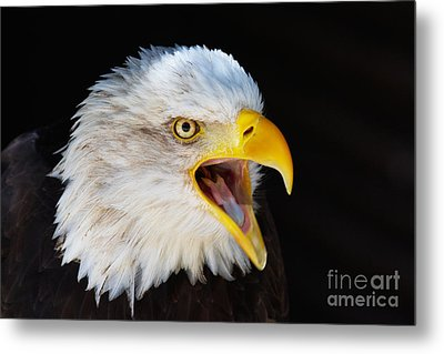 Metal Print featuring the photograph Closeup Portrait Of A Screaming American Bald Eagle by Nick  Biemans