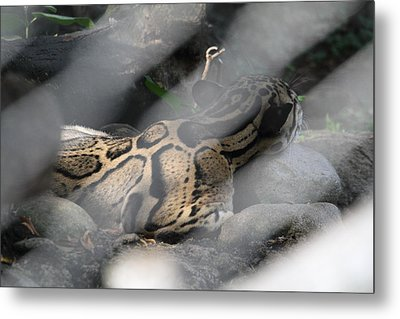 Clouded Leopard - National Zoo - 01135 Metal Print by DC Photographer