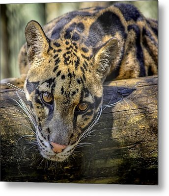 Metal Print featuring the photograph Clouded Leopard by Steven Sparks