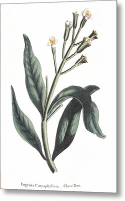 Clove Eugenia Aromatica Metal Print by Anonymous