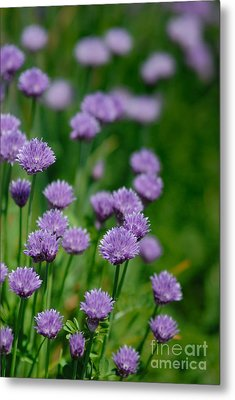 Clover Metal Print by Amy Cicconi