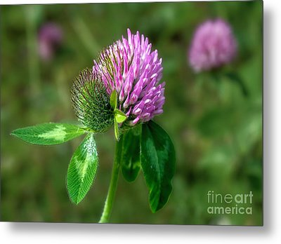 Clover - Wildflower Metal Print
