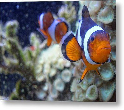 Clown Fish Couple Metal Print
