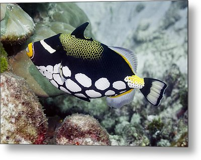 Clown Triggerfish Metal Print by Science Photo Library
