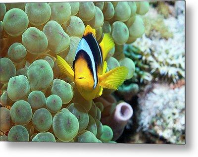 Clownfish In Anemone Metal Print by Georgette Douwma
