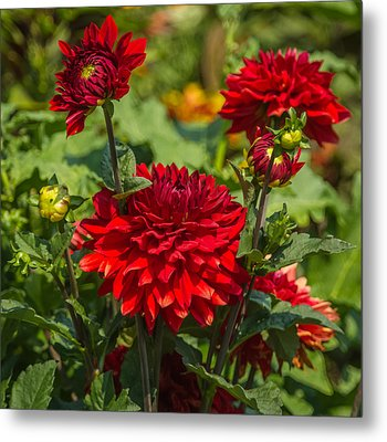 Cluster Of Dahlias Metal Print