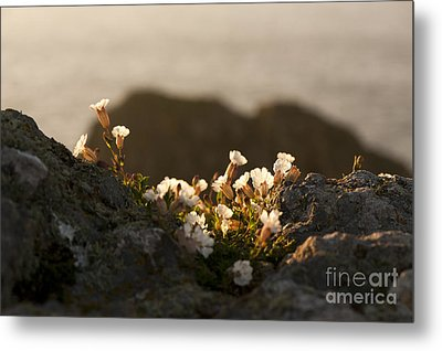 Coastal Sea Campion Metal Print