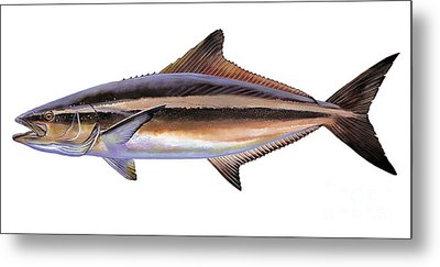 Cobia Metal Print by Carey Chen