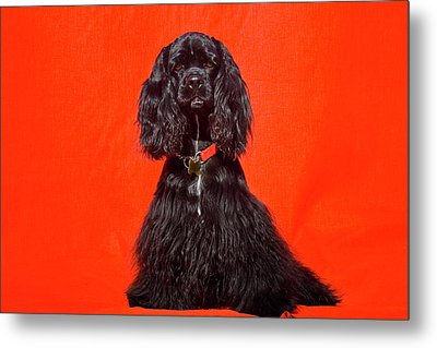 Cocker Spaniel Sitting Against Red Metal Print by Zandria Muench Beraldo