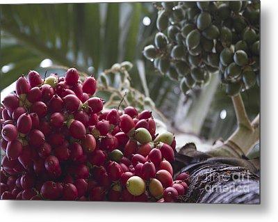 Cocos Nucifera - Niu Mikihilina - Palma - Niu - Arecaceae -  Palmae Metal Print by Sharon Mau