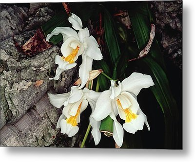 Coelogyne Cristata Epiphytic Orchid Metal Print by Michael R Chandler