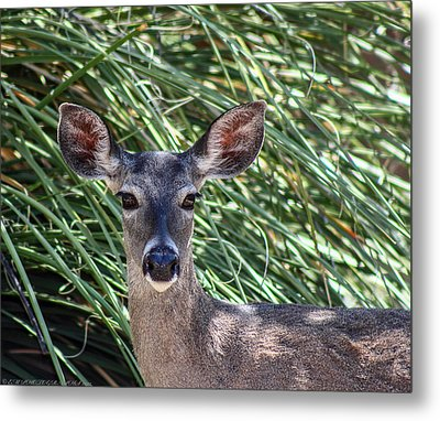Metal Print featuring the photograph Coes Deer by Elaine Malott