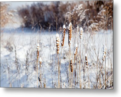 Cold Cattails Metal Print
