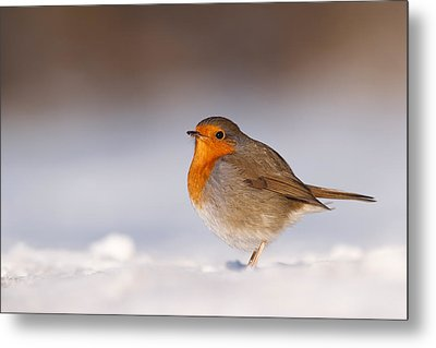 Cold Fee Warm Light Robin In The Snow Metal Print